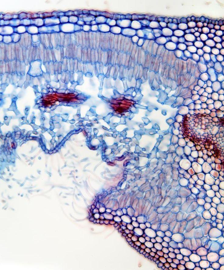 nerium oleander microscopy - Căutare Google