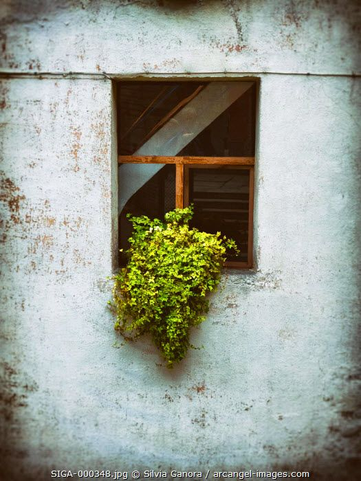 A vase of ivy leaves on an old window sill - ©Silvia Ganora Photography - All Rights Reserved  #bookcovers #windows
