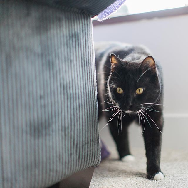 a handsome tuxedo cat peeks from behind the couch
