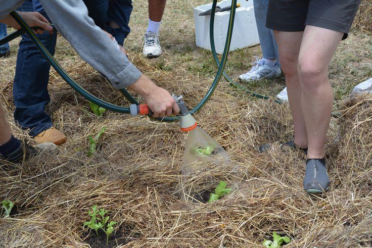 Watering the seedlings in