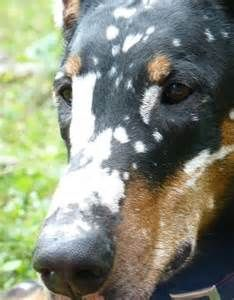 Best Animals With Vitiligo Images On Pinterest - 24 unique animals with vitiligo who look like theyre running out of ink