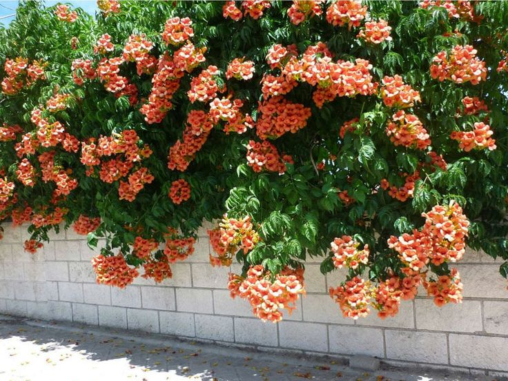 Campsis radicans (Trumpet Vine) is a vigorous, self-clinging, woody climber growing up to 33 feet (10 m). The leaves are opposite, ovate...