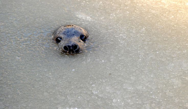 A young gray seal appeared in partly frozen water at a breeding station in Friedrichskoog, Germany. (Carsten Rehder/AFP/Getty Images)
