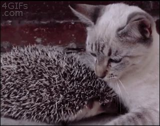 Kitty giving his hedgehog some lovin' or scratching his face! Whichever, it's adorable! :0)