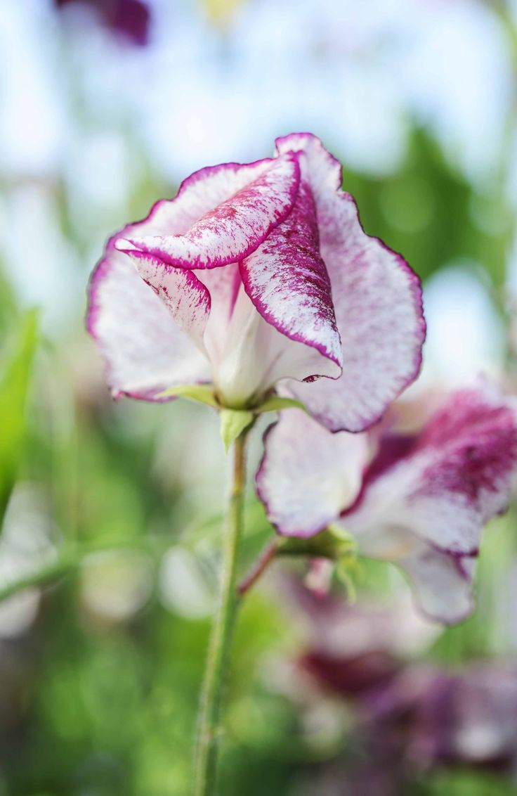 18 best images about Sweet peas on Pinterest | Sweet peas ...