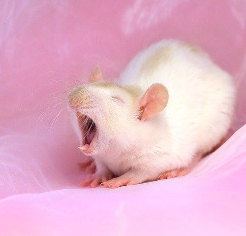 cute little yawning rattie!
