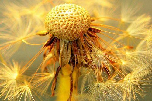 Beautiful: Photos, Flowers Photography, Beautiful Flowers, Seeds, Fresh Flowers, Macros Photography, Dandelions, Design Blog, Flower Photography