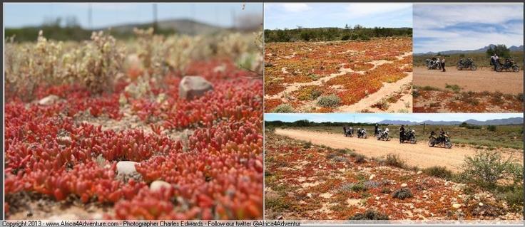 Brilliant flora in the Karoo