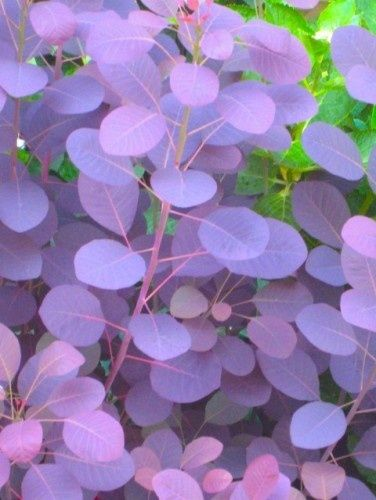 "Smoke bush - this is a wonderful bush for the garden. The blooms are very airy, thus the name ""smoke"" bush. Also changes colors with the seasons - These will go under the living room window with some black Mondo Grass... Dramatic!"
