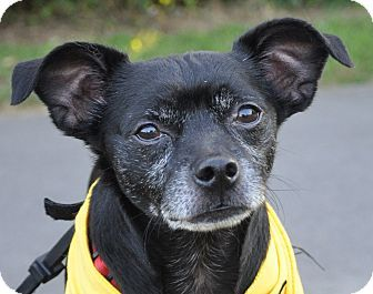Pictures of Winston a Pug/Chihuahua Mix for adoption in Hagerstown, MD who needs a loving home.