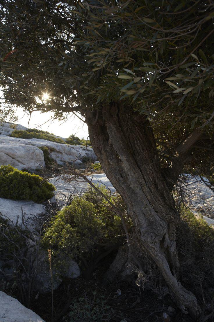 Olive trees on Castelorizo
