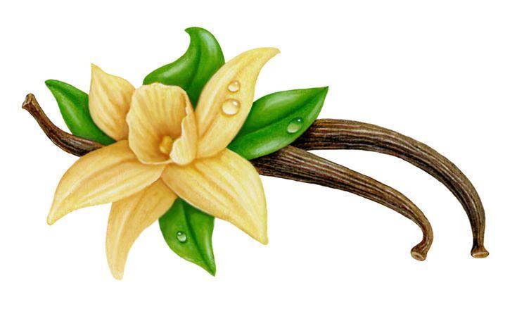 Vanilla Flower Drawing Herbs N Spices Pinterest