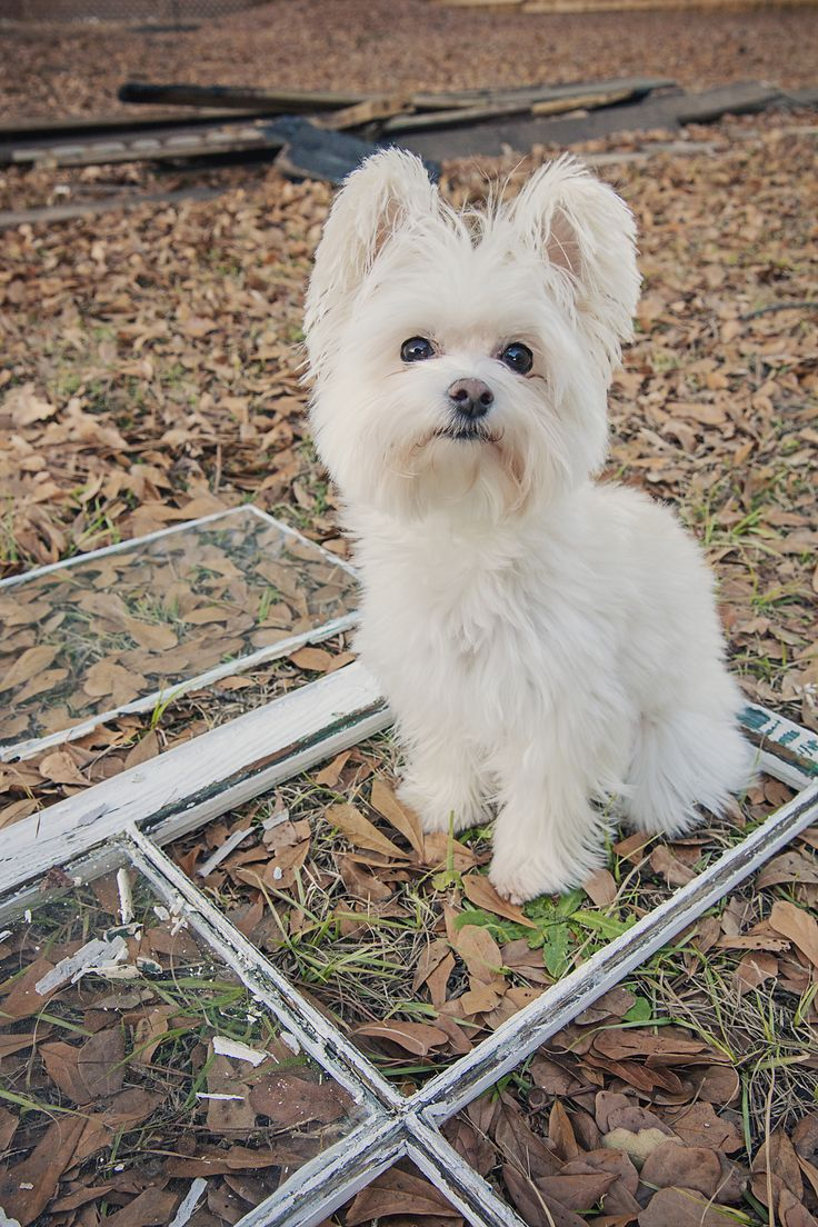 Maltese Yorkie Mix Morkie Puppy Animal Misc
