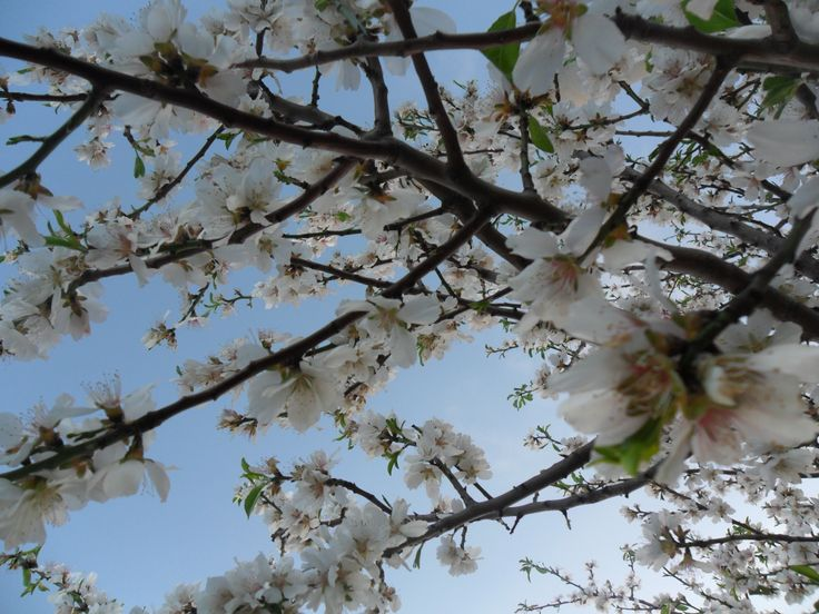 Almond's blossoms: february 2014 in the south of Italy: spring in coming faster than normal this year!