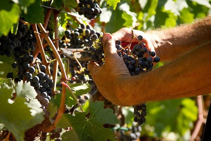 raccolta dei grappoli - harvesting grapes @ fattoria-fibbiano