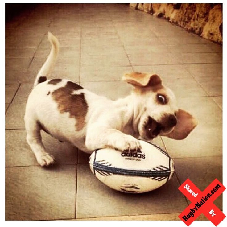 Rugby Shirt For Dog: 7 Best Rugby Vs. Football Images On Pinterest