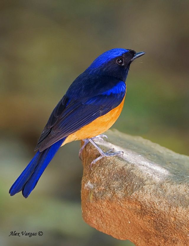 Rufous-bellied Niltava (Niltava sundara) --- (OLD WORLD FLYCATCHER)