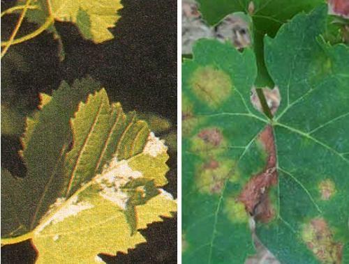 I sintomi della peronospora sulle principali coltivazioni dell'orto e sulle rose