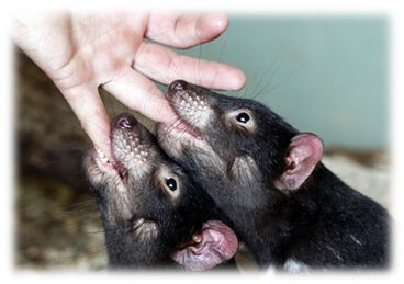 Tasmanian devils asking the bottle. You know now why God made a hand with 5 fingers