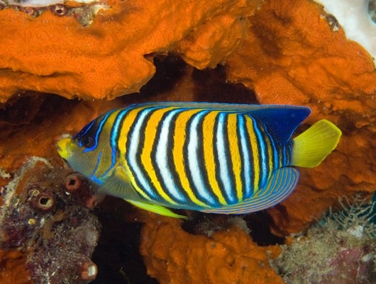 Royal Angelfish what are Beautiful colors!!!