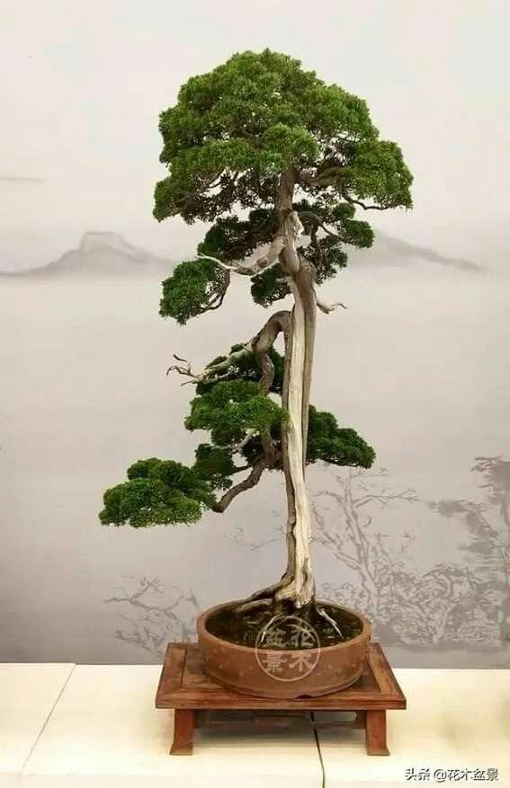Pin By Mijako M On Bonsai Insp3 Bonsai Tree Bonsai Styles Juniper Bonsai