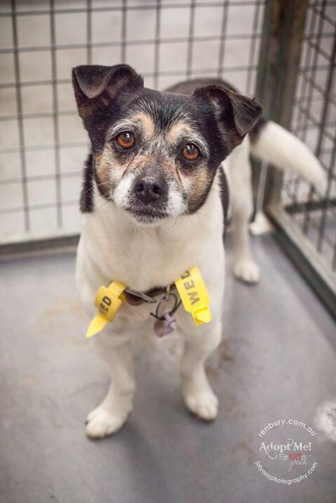 I'd like to share this handsome little gentleman with you all tonight. His name is Dudick and he is 9 years of age. He came into Renbury Farm Animal Shelter last Wednesday after a good samaritan dropped him in at Fairfield Vets. He is microchipped but his