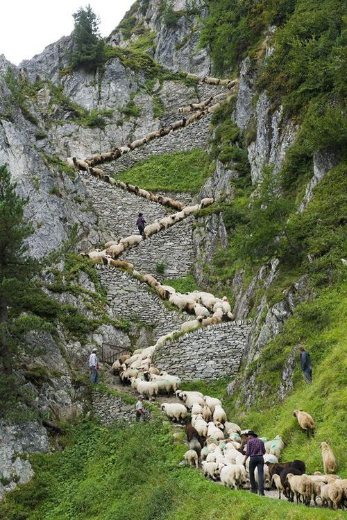 """I have no idea why, but this photo of sheep on stairs tickles me!!! [Watch your step! Hundreds of sheep head up perilous alpine path for their annual beauty contest""""] -- Click through for the story and many other photos."""