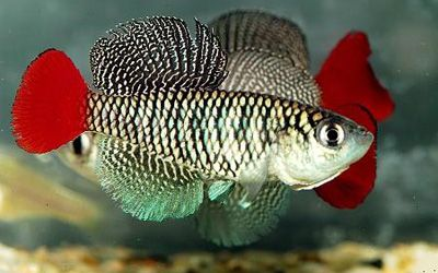 nothobranchius patrizii | Killis - Pez Center -ciclidos, peces tropicales, peces de agua fria