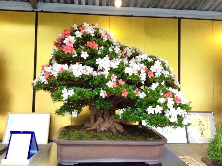 Satsuki Azalea Bonsai festival