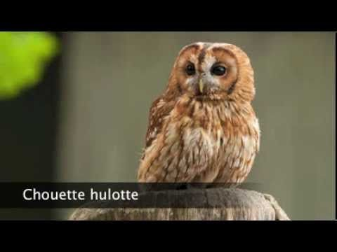 Chouette hulotte - YouTube