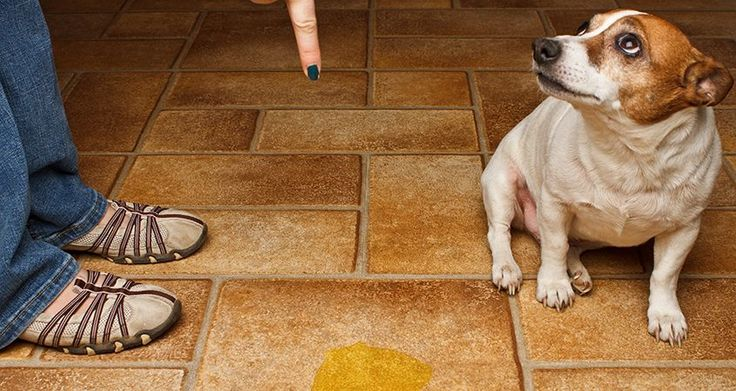 Housebreaking Adult Dogs — Tip: Dog shaming (like in this picture) when they pee on the floor doesn't help. It only makes them afraid of you. Read more for what to do...   |   Cesar's Way