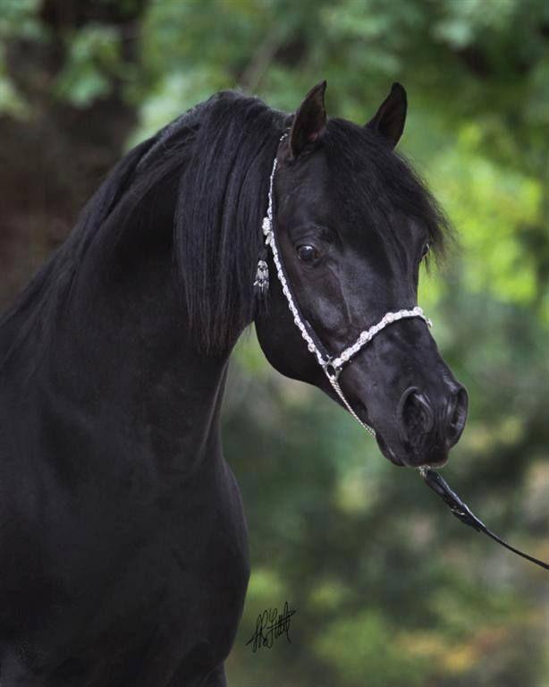 black a horse has - photo #12