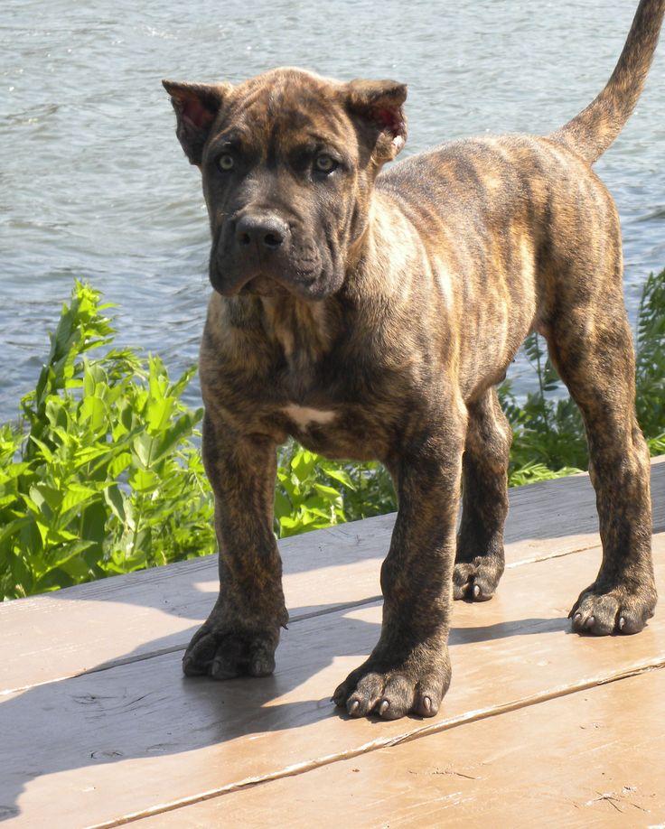 """♥♥ Perro de Presa Canario, Canarian catch dog"""" """"Presa Canario"""" """"Presa""""Dogo…"""
