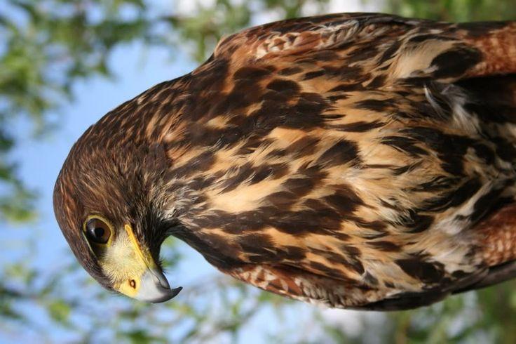 Male Hawk   Male Harris Hawk - Juvenile