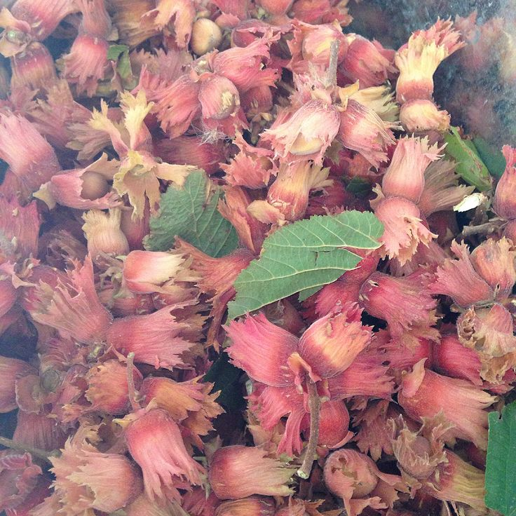 Sign of fall is here. Nuts directly from the tree  #nuts #hazelnuts #decoration #fallishere #fall2015 #grownindenmark