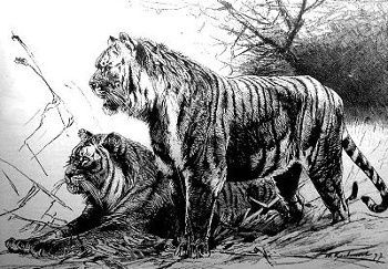 Caspian Tiger aka Persian Tiger