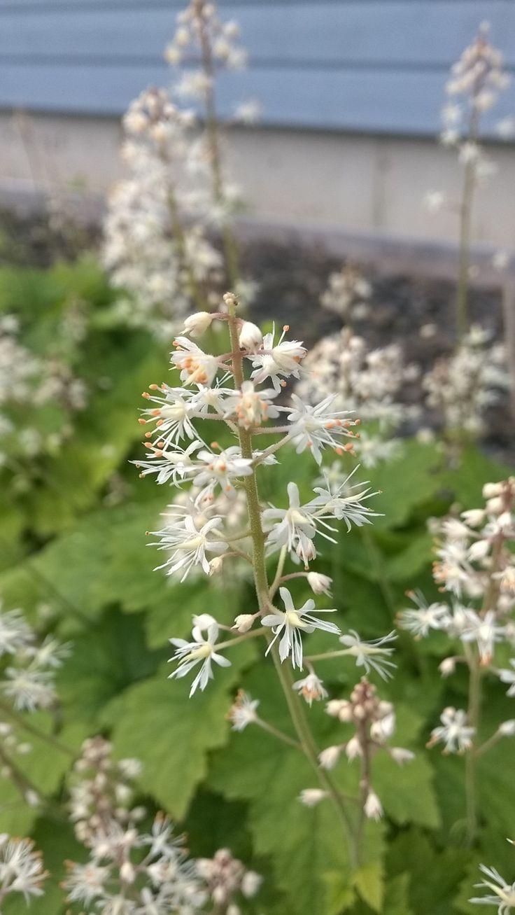 #Rönsytiarella Tiarella cordifolia