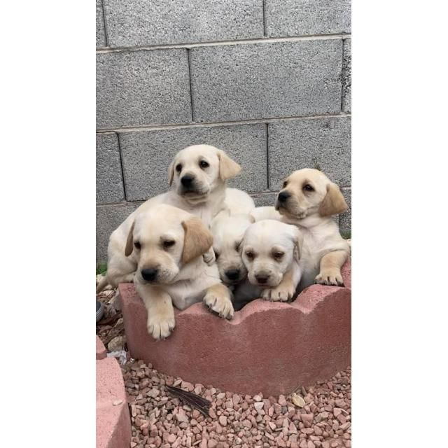 Labrador Retriever Las Vegas We Have 4 Lab Puppies Left 1 Girl