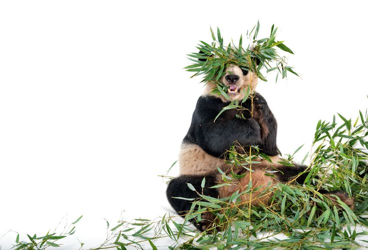 SCIENCE The population of wild giant pandas has risen some 17% in just over a decade, the Chinese government reported this week. (Nat Geo News) Play our game to design a giant panda wildlife reserv...