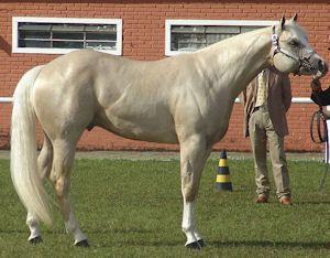 The American Quarter Horse - OMG, his head looks like a pig.