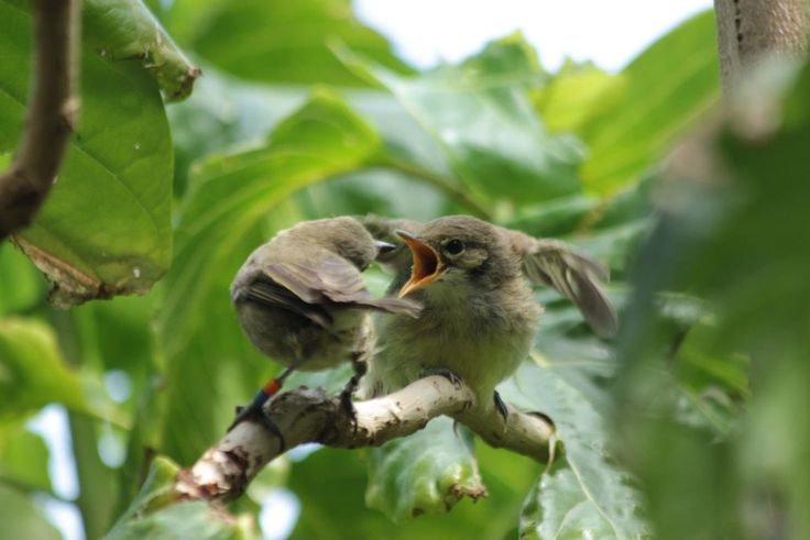 Birds will sometimes care for the offspring of other birds of their own species if they anticipate future benefits. Being tolerated in another bird's territory and the chance to inherit that territory later are considered rewards for which some birds are willing to postpone their own chance of reproduction. In almost 10 percent of bird species around the world, certain individuals postpone their own chance of reproduction to help birds of the same species to care for their offspring.