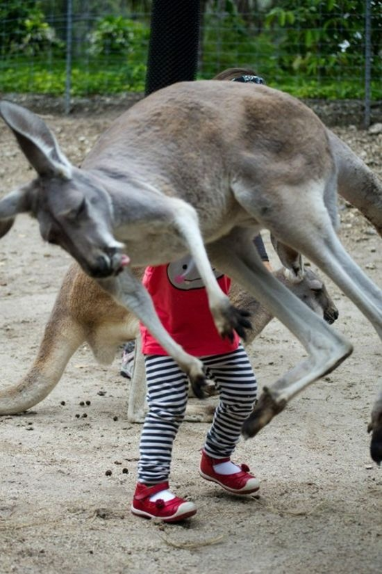LIKE us on Facebook: Photos Bombs, Funny Pics, Funny Pictures, Kangaroos Photobomb, Animal Photobomb, Funny 9Gag, Funny Photobomb, Funny Animal, Teen Photography