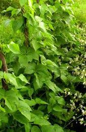 Фасоль выращивание в квартире - Домашний бизнес