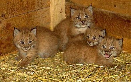 Rozhodně nejdivočejší ze všech mláďat jsou čtyřčata rysa karpatského.