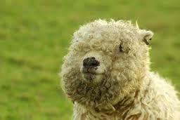 Mr Sheep.