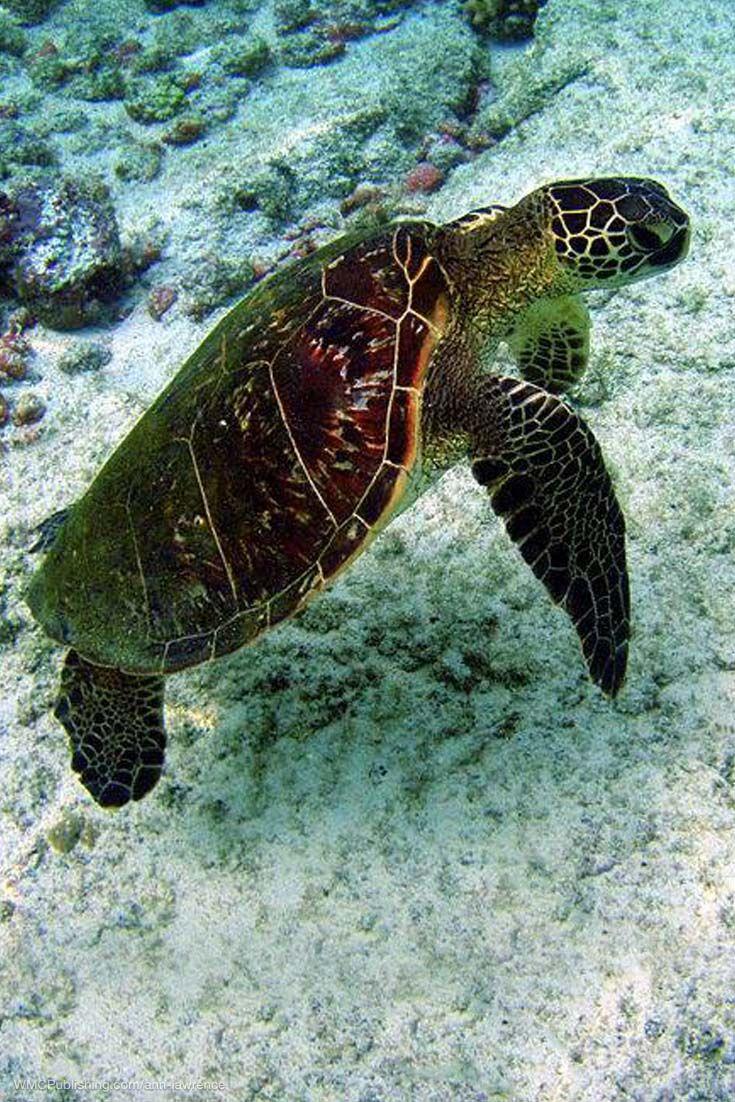 A Green Sea Turtle In The Waters Off Kona Hawaii Seaturtle Seaturtles