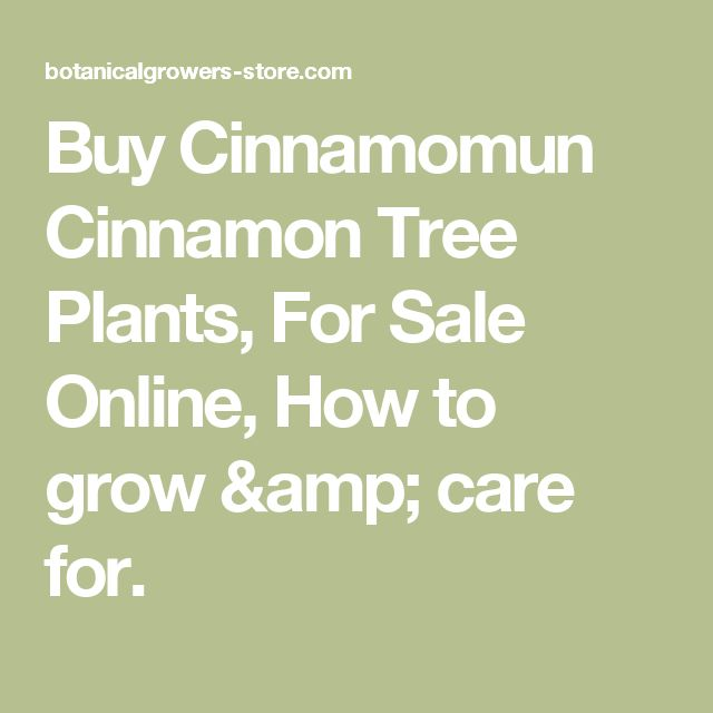 Buy Cinnamomun Cinnamon Tree Plants, For Sale Online, How to grow & care for.