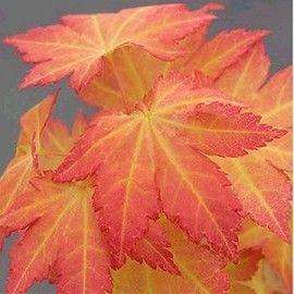 17 meilleures id es propos de arbuste d ombre sur pinterest arbuste ombre arbuste japonais - Erable du japon orange dream ...