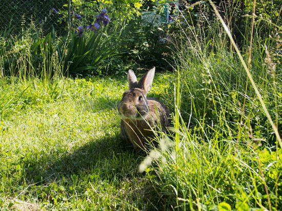 Alimentation naturelle - La dure vie du lapin urbain