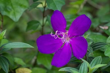 The princess flower (Tibouchina urvilleana) is best grown in tropical and subtropical gardens. It features gorgeous purple blossoms. Full sun, slightly acidic.